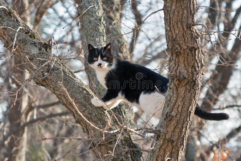 害怕黑白猫坐一棵高树 免版税库存照片