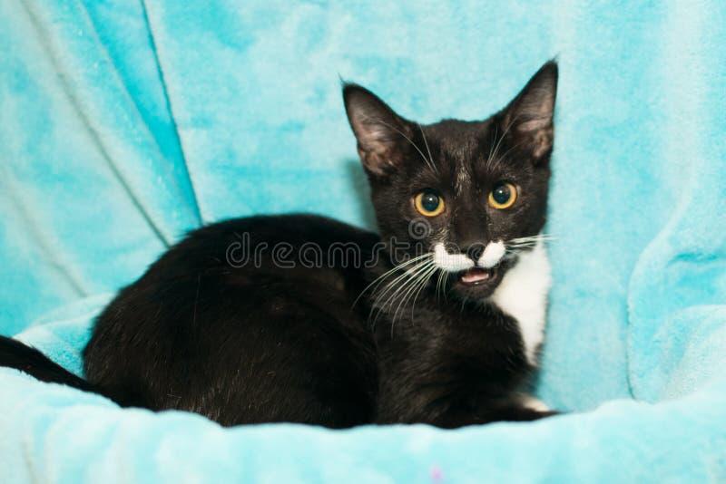家养的中等头发小猫 免版税库存图片