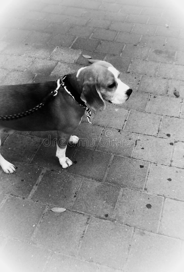 家养的小猎犬狗 库存照片