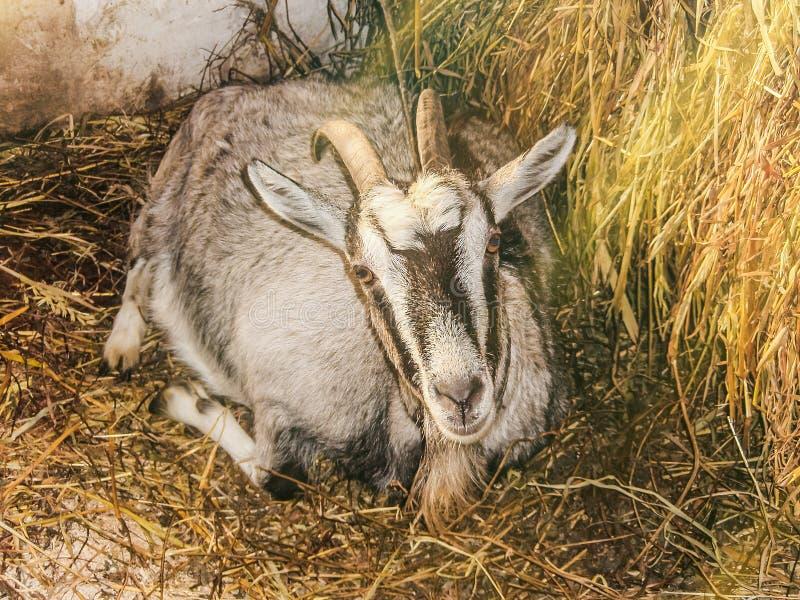 家养的怀孕的山羊在谷仓 免版税库存图片
