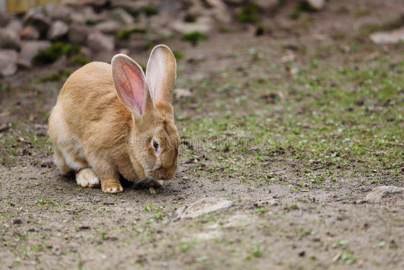 家养的母棕色佛兰芒巨型兔子充分的身体  免版税库存图片