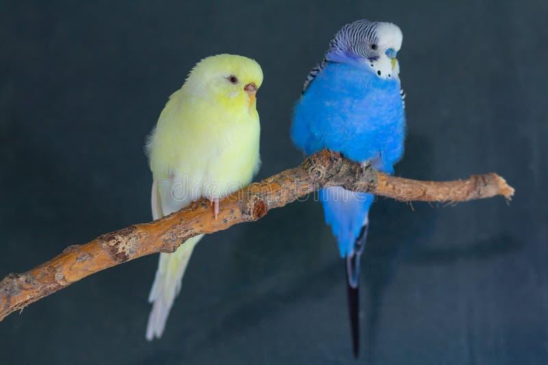 家养的波浪鹦鹉夫妇坐分支 免版税库存图片