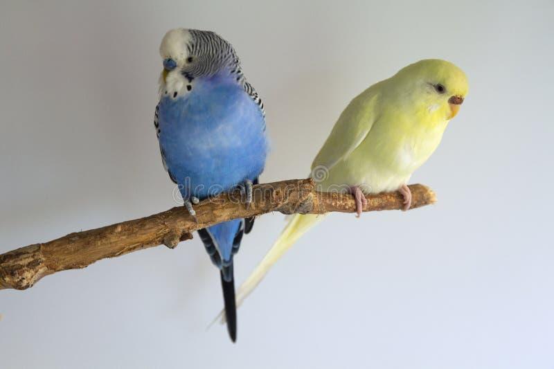 家养的波浪鹦鹉夫妇坐分支 库存照片