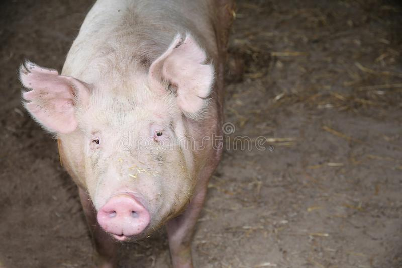 家养的猪母猪极端特写镜头照片 库存照片图片