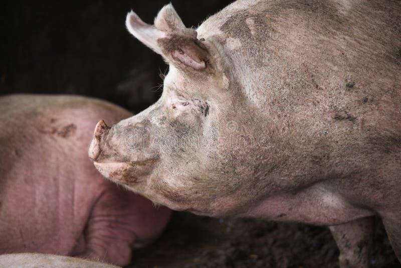 家养的猪母猪极端特写镜头照片. 少许, 快乐.图片