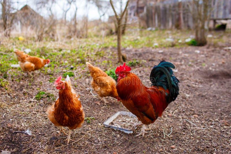 家养的红色吃五谷和寻找蠕虫的母鸡和雄鸡 库存照片