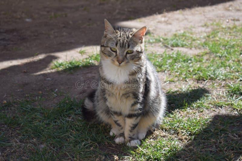 家养的虎斑猫宠物 库存图片