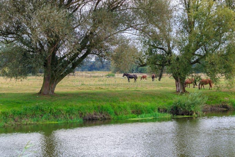 家养的马牧群在一个绿色草甸吃草反对河岸 库存照片