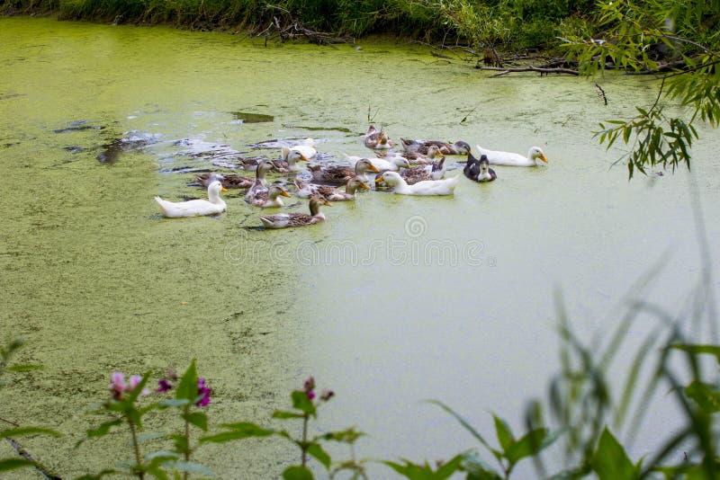 家养的鸭子在池塘游泳 库存图片