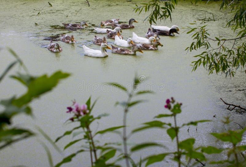 家养的鸭子在池塘游泳 免版税库存图片