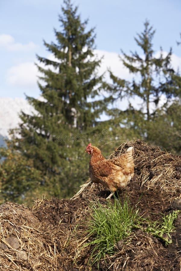 家养禽肉 免版税库存图片