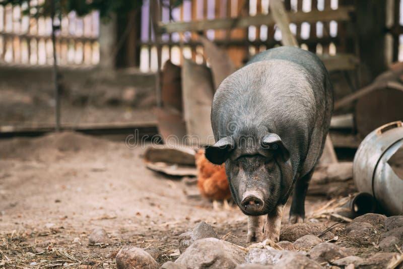 家庭一头大黑猪在农场 养猪 库存图片