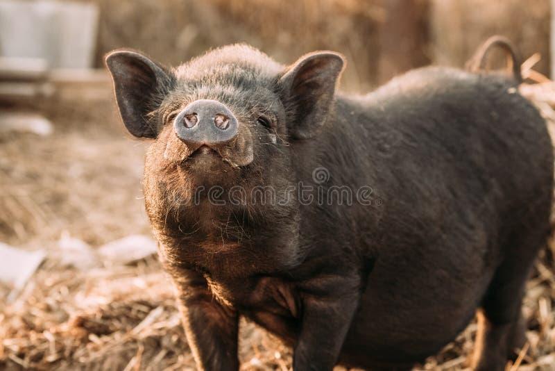 家庭一头小黑猪在农场嗅空气 养猪是 库存图片