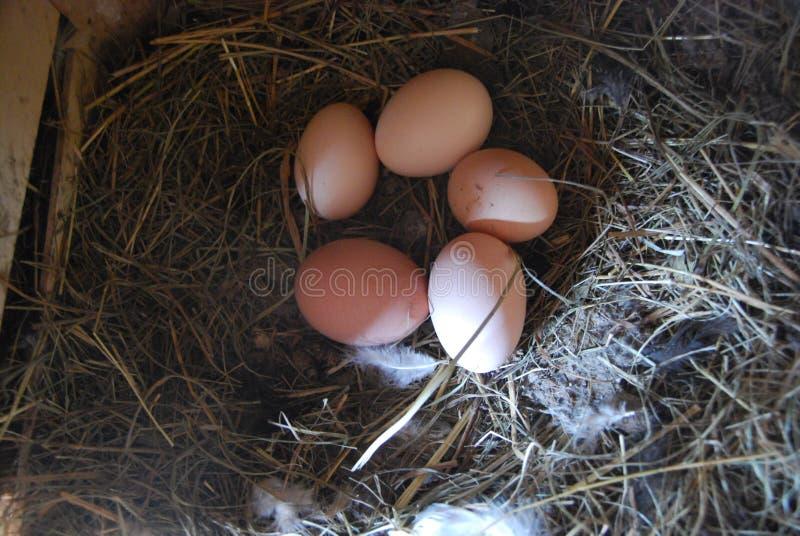 家庭农场 在巢的五个鸡鸡蛋 免版税图库摄影