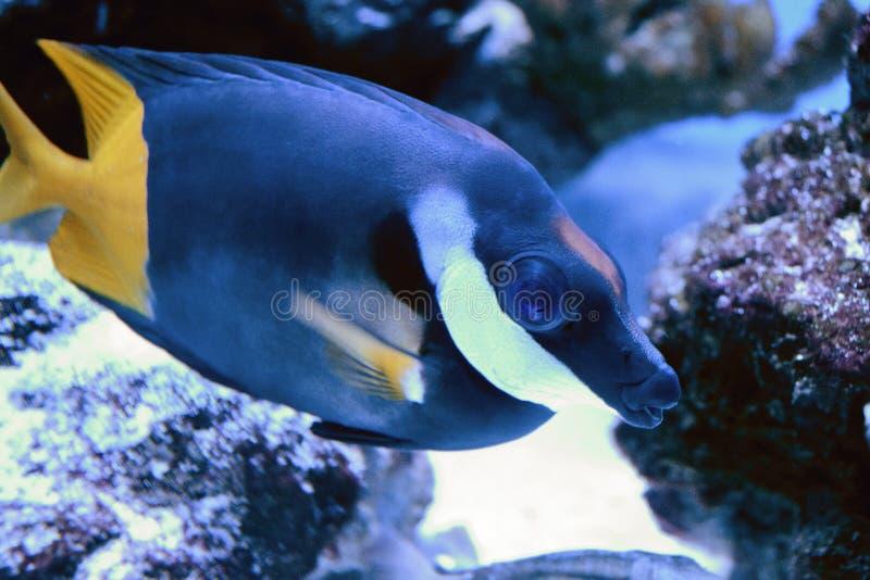 家庭刺尾鱼科的蓝色Zebrasoma 普遍的水族馆鱼 Zebrasoma可以商业养殖和被上升,但是 库存照片