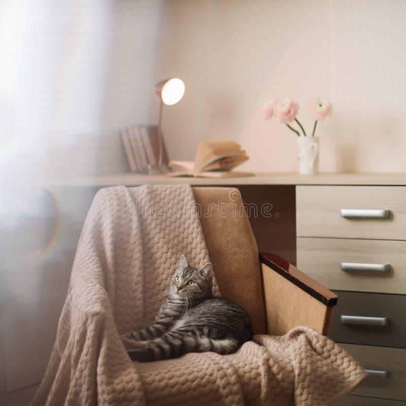 家庭在家说谎在扶手椅子的宠物逗人喜爱的猫 逗人喜爱的苏格兰平直的灰色虎斑猫画象 库存照片