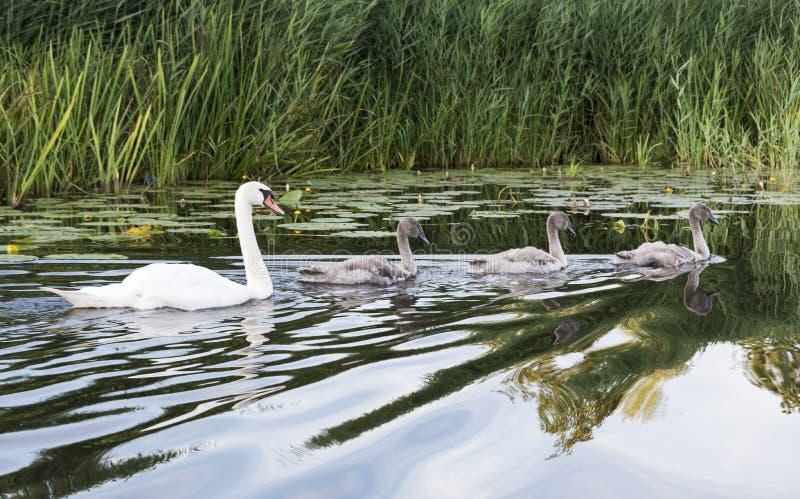 家庭天鹅在水中 库存照片