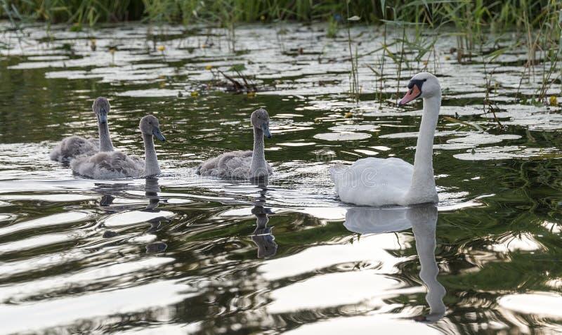家庭天鹅在水中 库存图片