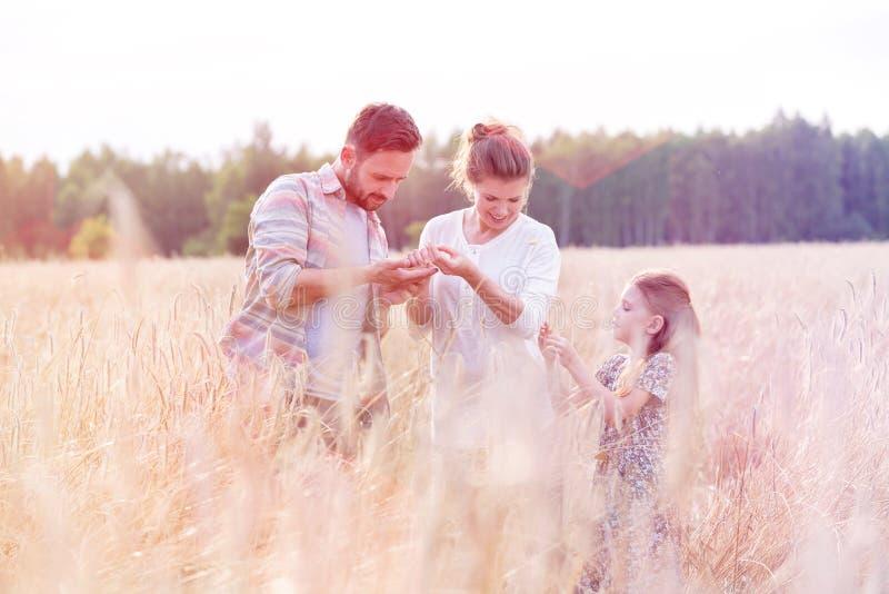 家庭审查的麦子庄稼 图库摄影