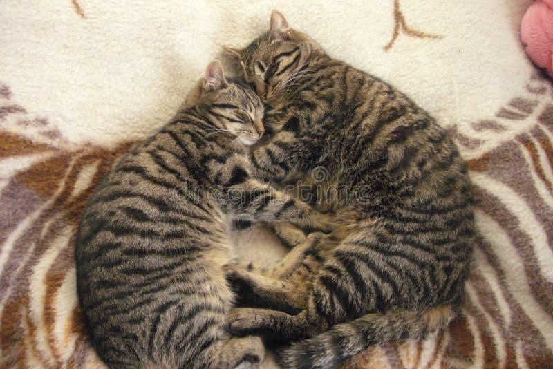 家庭密林:CAT 免版税库存照片