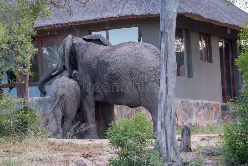 家庭小组从倾没水池的大象饮用水在萨比沙子比赛储备的一个私有阵营,南非 免版税库存图片