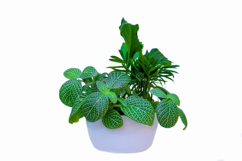 家庭植物和白色背景 图库摄影