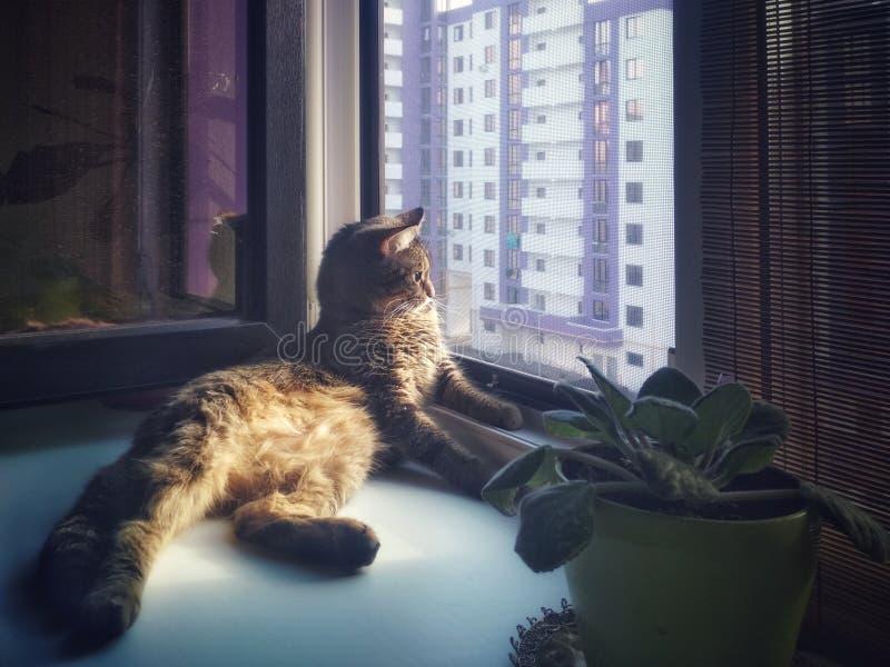 家庭灰色猫在窗台说谎 免版税库存图片