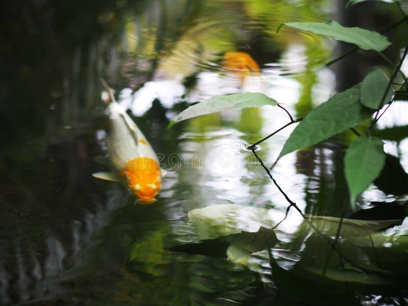家庭菜园与小井鱼的水池表面 库存照片