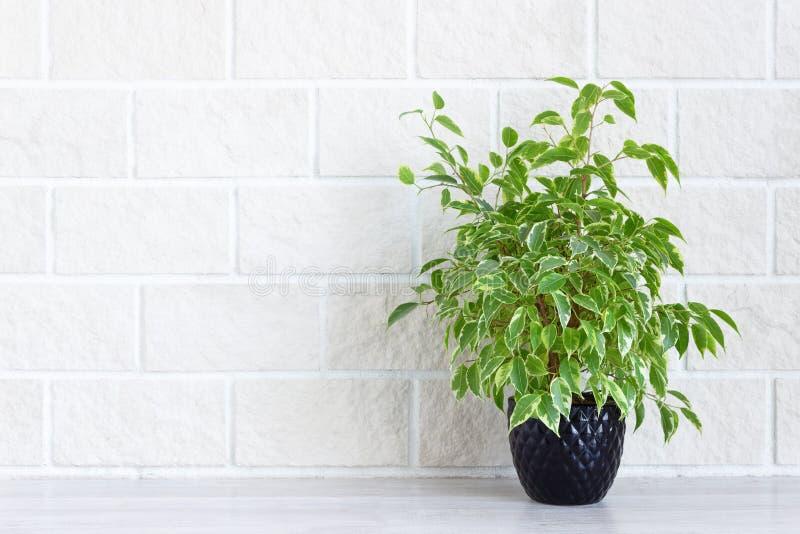 家庭装饰-花盆的室内绿色植物在白色砖墙背景 免版税库存照片
