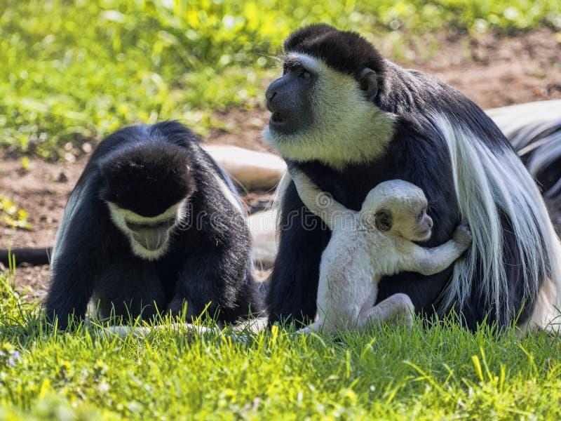 家庭覆盖了guereza,疣猴guereza,与白色色的婴孩 免版税图库摄影