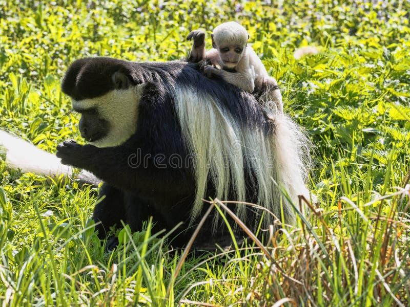 家庭覆盖了guereza,疣猴guereza,与白色色的婴孩 库存图片
