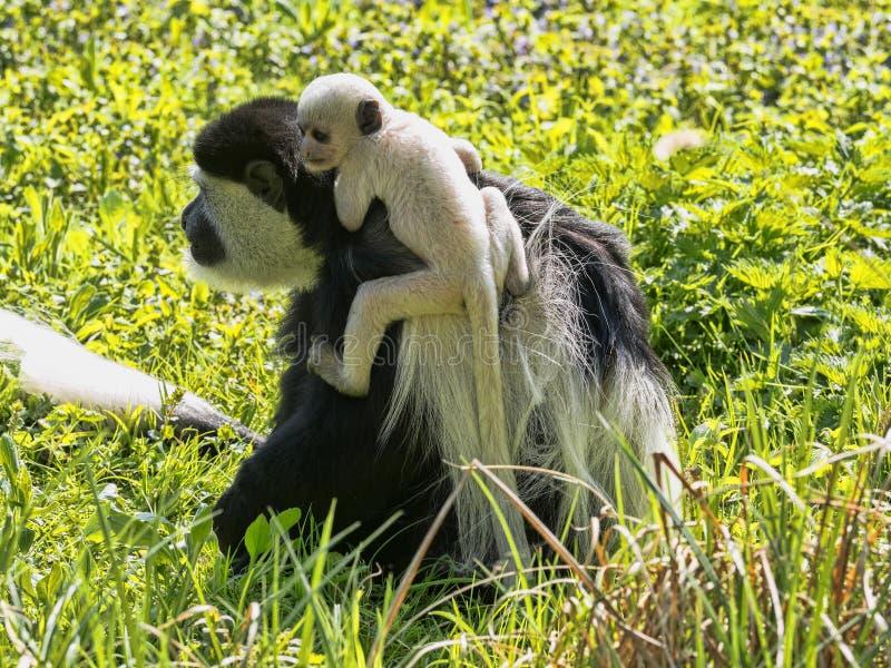 家庭覆盖了guereza,疣猴guereza,与白色色的婴孩 免版税库存照片
