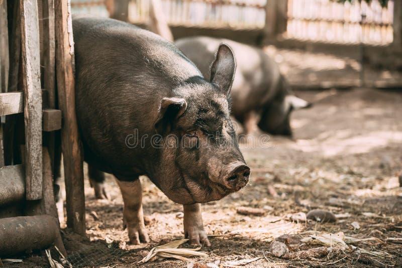 家庭A大黑猪发痒关于篱芭在农场 猪 库存图片