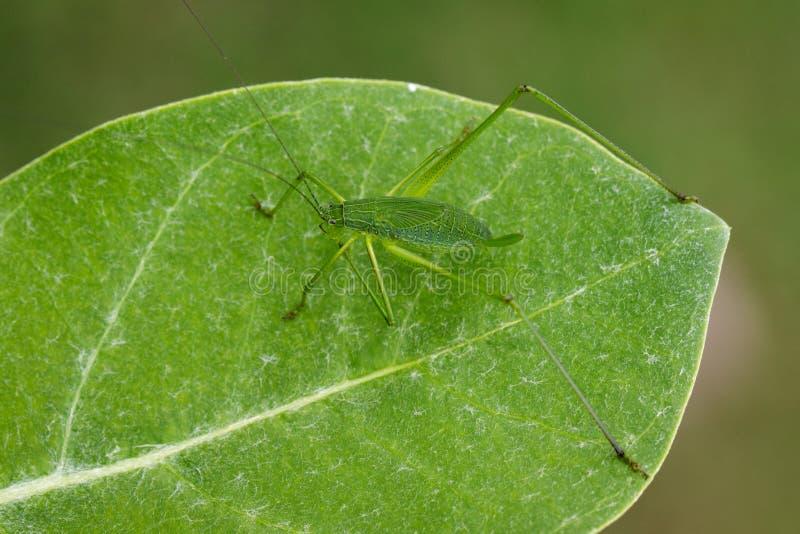 家庭TettigoniidaeMirollia hexapinna的图象共同地是c 库存图片