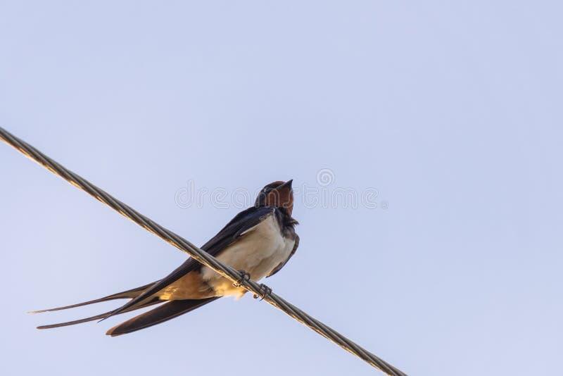 家燕或与绿色面孔栖息在导线的燕属rustica或者快速,可爱的黑鸟在蓝天背景 免版税图库摄影