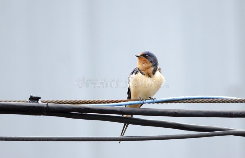 家燕鸟在导线,乔治亚,美国栖息 免版税图库摄影