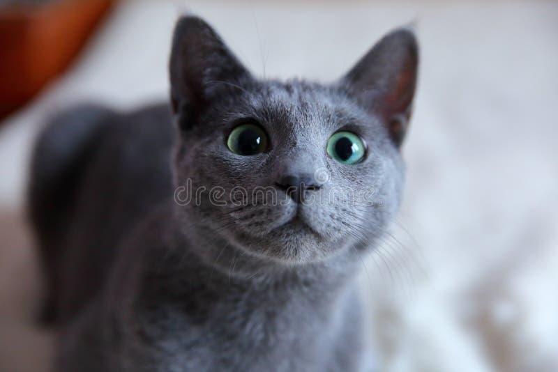家猫是拥抱和拥抱的伟大的宠物 库存照片