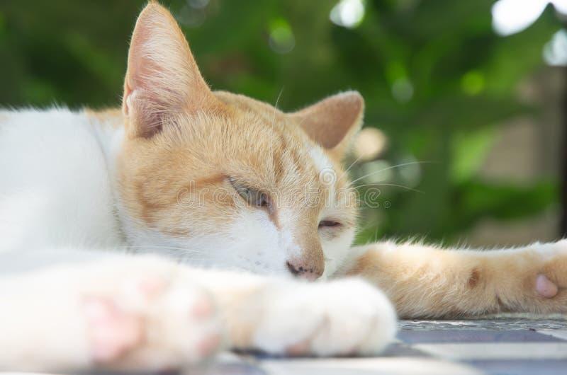 家猫睡觉 库存图片