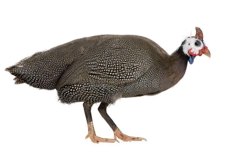 家畜几内亚头盔状的meleagris numida 库存图片