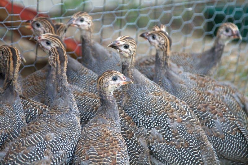 家畜几内亚keets老六个星期 免版税库存照片