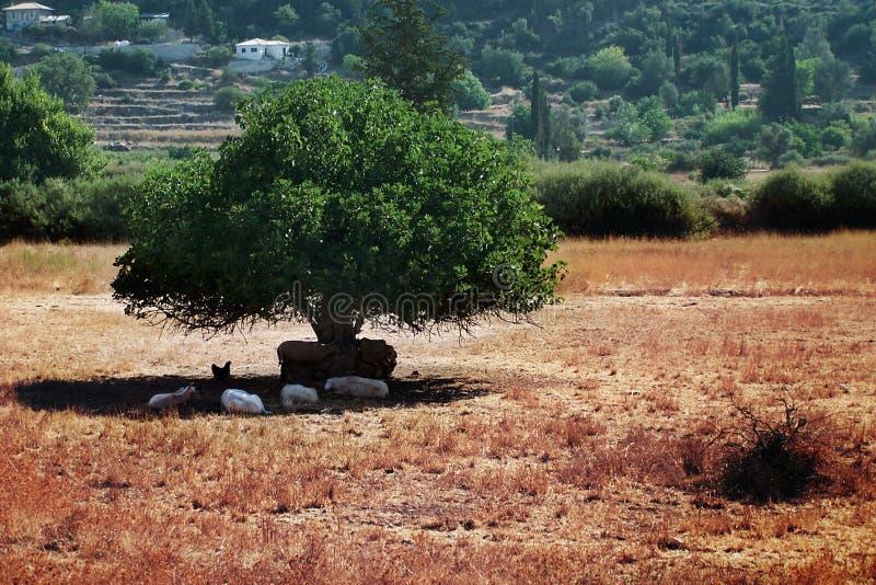 家畜遮蔽结构树下 免版税库存照片