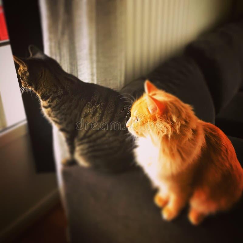 家的家猫国王 免版税库存图片