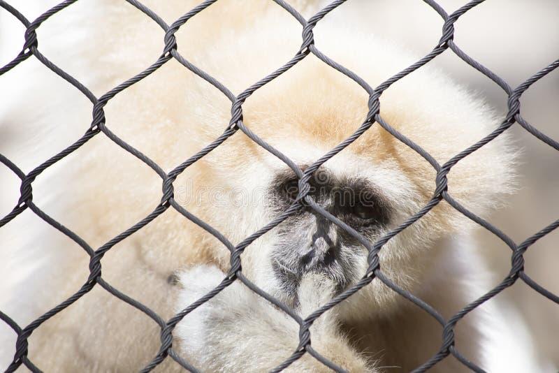 家神长臂猿 免版税库存图片