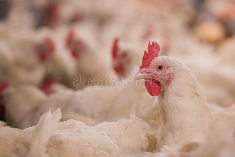 家禽养殖为种田肉或鸡蛋的目的食物的2 图库摄影