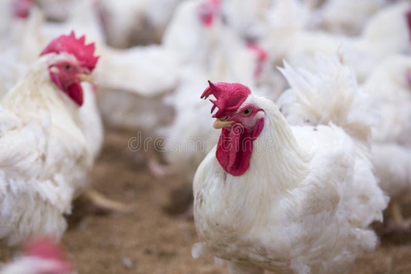 家禽场鸡企业农场 库存照片