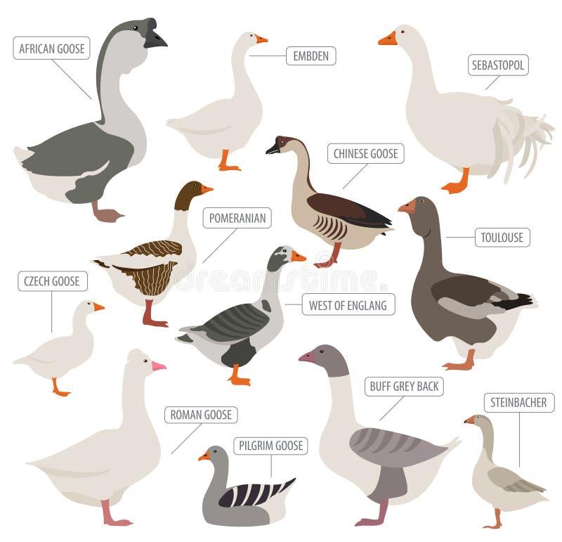 家禽养殖 鹅助长象集合 平的设计 向量例证