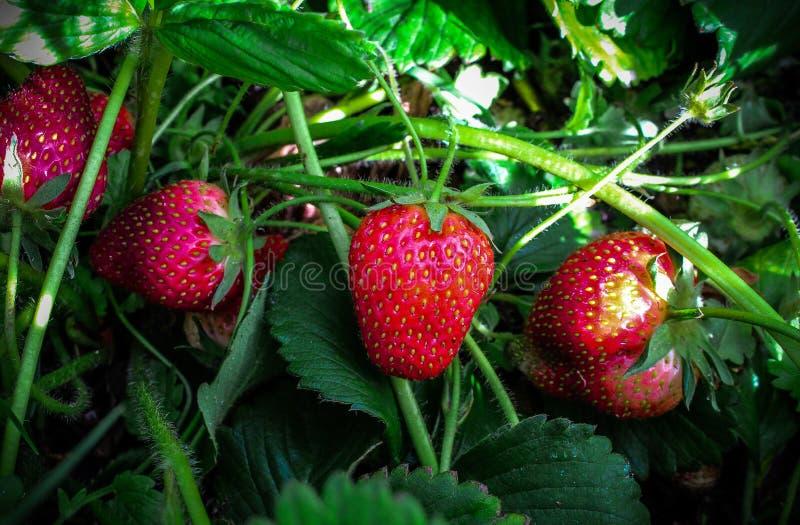 家种的大草莓在南非 免版税图库摄影
