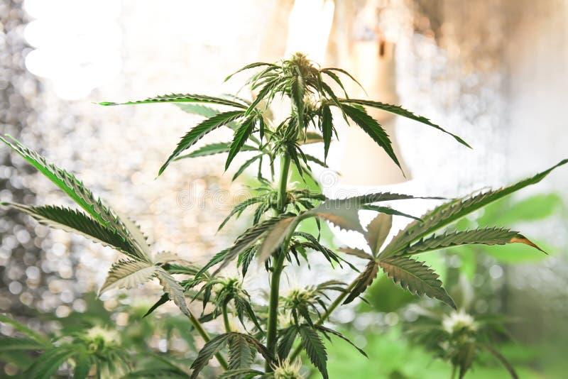 家种的大麻 在花盆的大麻 开花的大麻植物本质上 库存照片