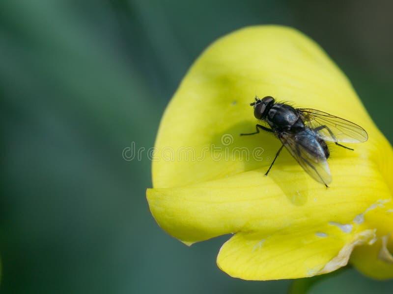 家蝇/苍蝇座Domestica在一朵黄色花的瓣 免版税库存图片