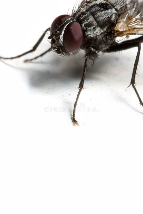 家蝇 库存图片